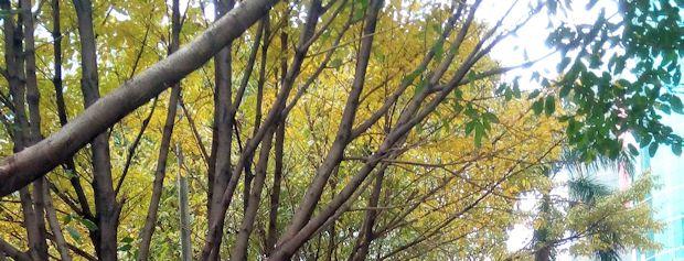 黄葉と若葉が混じり合う