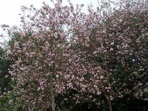 桜かと思ったが